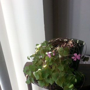 My shamrock plant with its pink blooms
