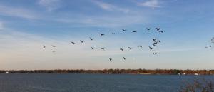 cormorants-flying-over-cross-lake