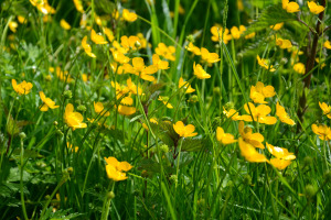 Buttercups on our allotment