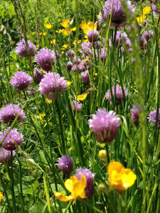 Buttercups and chives on the plot